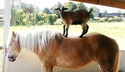 Goats_Riding_Horses.png
