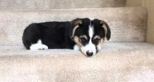 Corgi_puppy_going_down_stairs.png