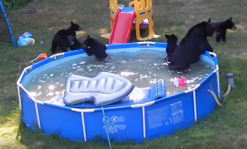 Bears_take_over_Rockaway_Township_pool.png