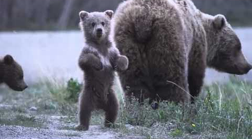 Dancing_Grizzly_Cub.png