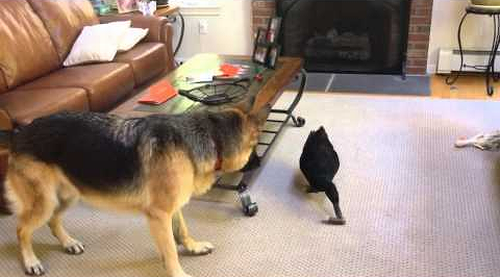 German_Shepherd_Plays_Around_with_Duck.png