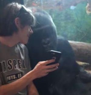 other_gorillas_on_his_phone.png