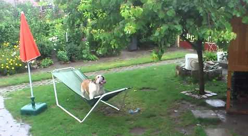 Bulldog_Plays_on_Hammock.png