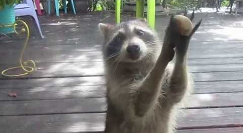 Rocksy_the_Raccoon_knocks_at_the_door.png