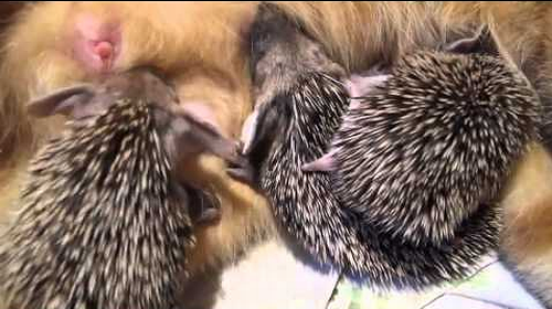 Mother_cat_adopts_orphaned_hedgehogs.png