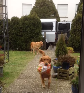 Golden_Retrievers_Help_Bring_in_Groceries.png