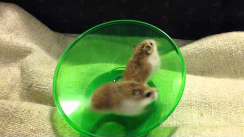 Hamsters_Running_and_Spinning_On_Wheel.png