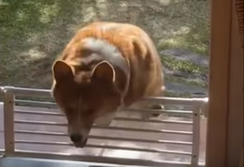 Corgi_Fails_At_Hopping_Over_Fence.png