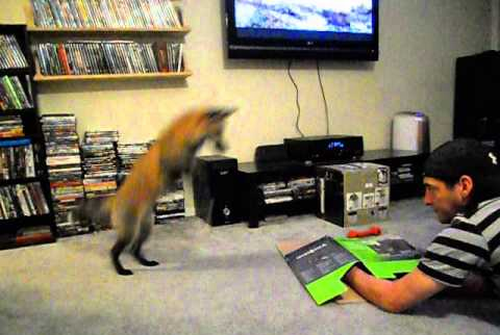 Loki_the_red_fox_pouncing_on_a box.png