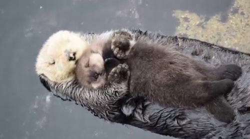 1_Day_Old_Sea_Otter_Trying_to_Sleep_on_Mom.png
