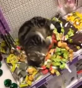 Lost_cat_rolling_around_in_catnip_toys.png