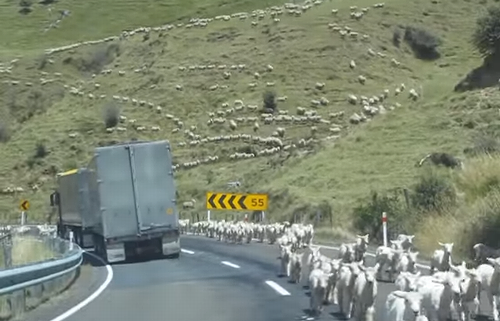 huge_flock_of_sheep.png