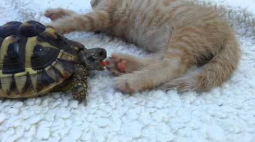 Tortoise_Tries_to_Eat_Kittens_Toes.png
