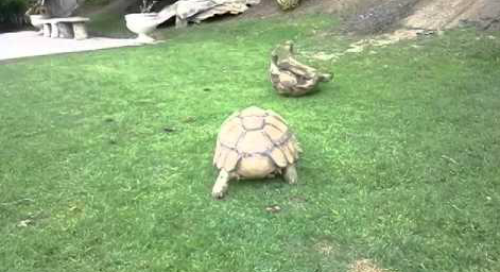 tortoise_helps_a_friend.png