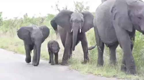 Baby_Elephant_struggling.png