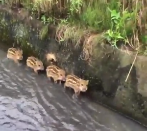 four_little_boat_piglets.png