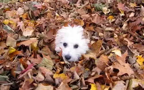 Puppies_Playing_in_Leaves.png