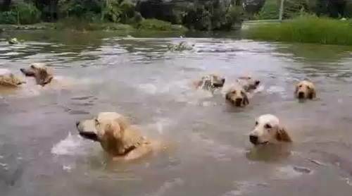 Sixteen_Swimming_Golden_Retrievers.png