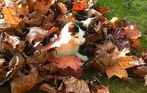 Cats_Playing_in_Leaves_Compilation.png