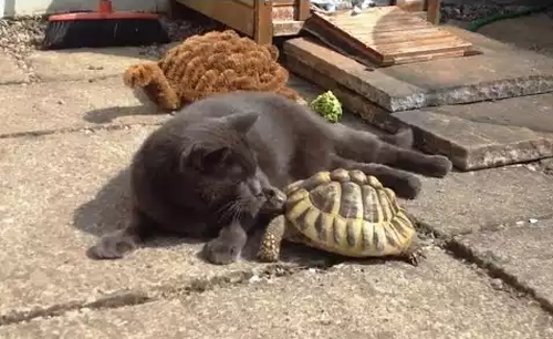 cat_vs_Tortoises.png