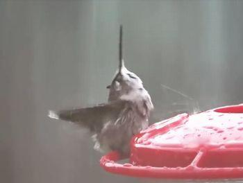Hummingbird_Enjoys_Some_Rain.jpg