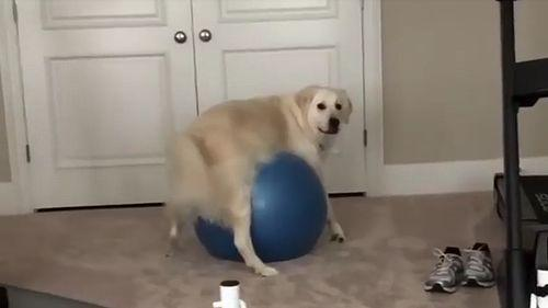 Doggo_Gets_Stuck_On_Exercise_Ball.jpg