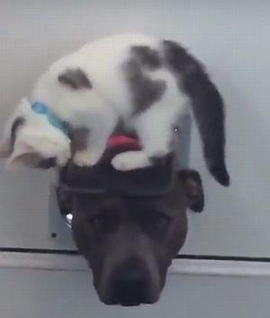 The_staffie_and_the_kitten_doorman.jpg