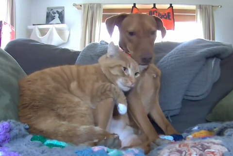 ginger_cat_and_vizslas.png