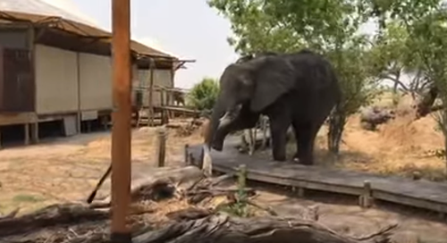 Young_Elephant.png