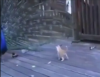 Peacock_vs_kitty.png