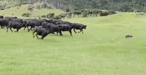 Curious_cows.png