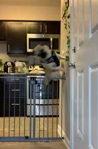 Pug_Wall_Jumps_Dog_Gate.png