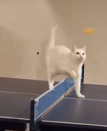 catpingpong.png