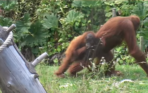 baby_Orangutan_tries_to_escape_from_its_mother.png