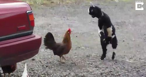 baby_goat_vs_chicken.jpg