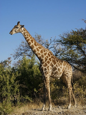 giraffe_sample.jpg