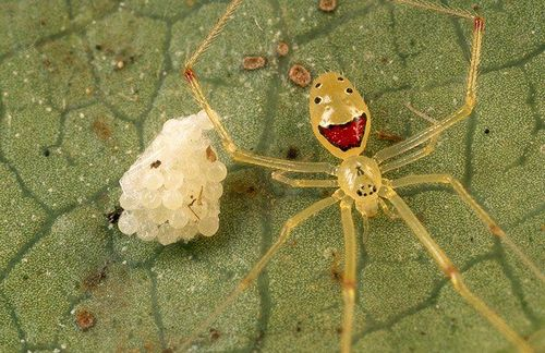 happy_face_spider_01.jpg