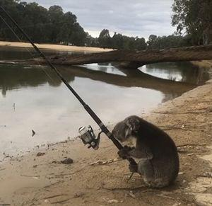 koala_goes_fishing.jpg