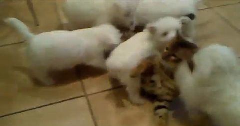 puppies_vs_cat.jpg