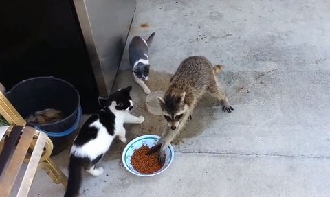 racoon_eating_cat_food.jpg
