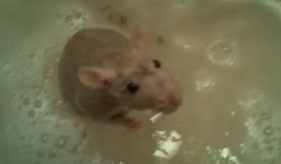 rat_takes_a_bath.jpg