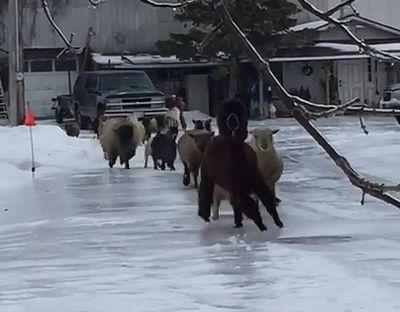 sheeps_on_ice.jpg