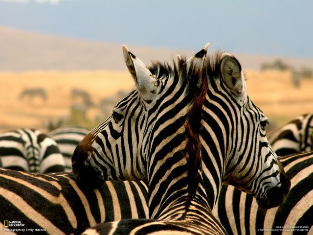 two-headed_zebra.jpg